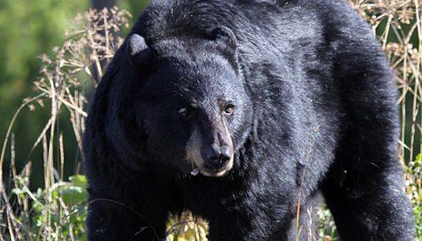 Bear Attack in Frederick
